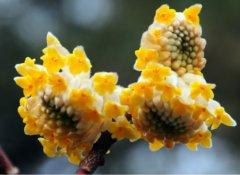 结香什么时候开花  注意这几点结香开花更加旺盛哦
