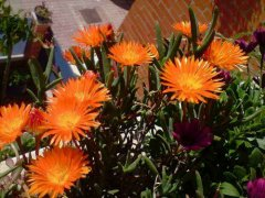 龙须海棠不开花怎么回事  注意这3点龙须海棠越开越旺