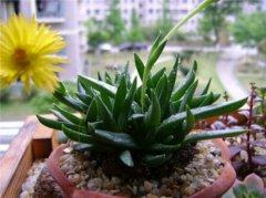 黄花照波什么时候开花会死吗  黄花照波开花后养护技巧看这里