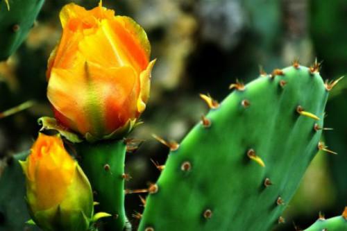 仙人掌怎么养才能开花  注意这三点仙人掌开花并不难哦
