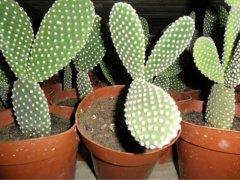 仙人掌盆栽怎么养长得快  仙人掌这样养长得又粗又壮