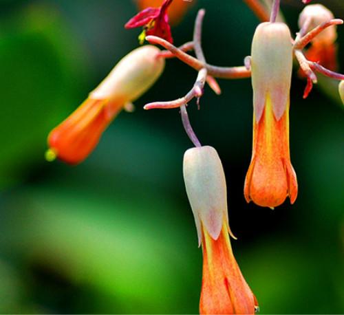 玉吊钟什么时候开花  玉吊钟开花后怎么养护方法介绍