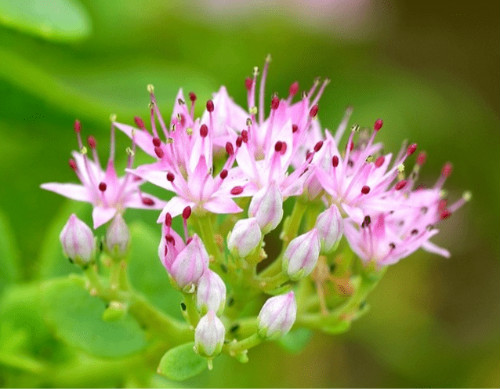 八宝景天什么时候开花 八宝景天只长叶不开花原因在这里