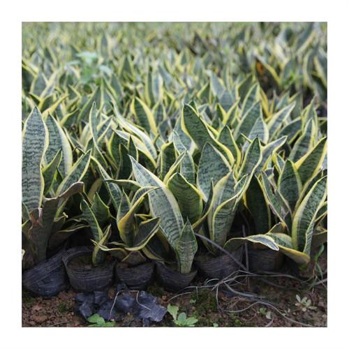 短叶虎尾兰有什么功效 短叶虎尾兰的功效与作用可真不少