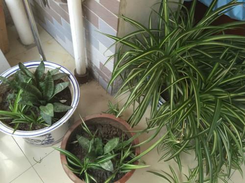短叶虎尾兰开花吗  这样养护短叶虎尾兰也可以开花哦