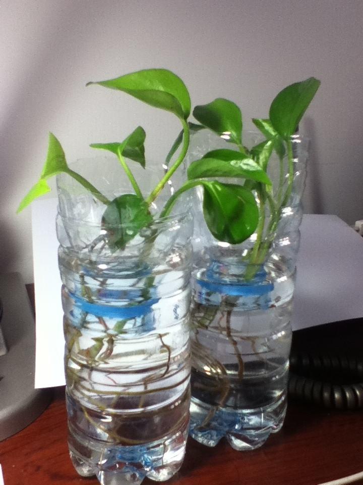 水培绿萝冬天会冻死吗  记住这3点水培绿萝也能安全越冬