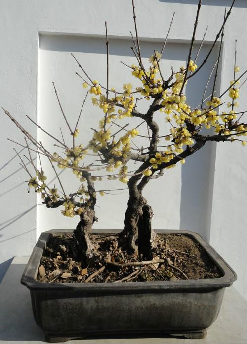 盆栽腊梅怎么修剪  腊梅造型修剪图解这样修剪更漂亮