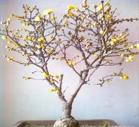 腊梅花几月份开花  腊梅一直不开花怎么办解决方法如下