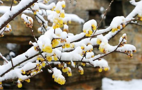 腊梅花怎么养殖  盆栽腊梅花的养殖方法你学会了吗