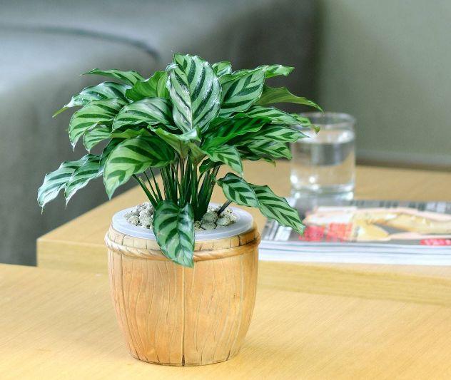 孔雀竹芋的风水作用寓意如何  孔雀竹芋家中摆放禁忌看这里