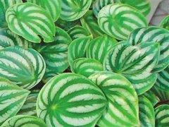 西瓜皮椒草有毒吗  西瓜皮椒草的功效