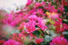 齐发娱乐城花有毒吗能放室内养吗 养殖齐发娱乐城花