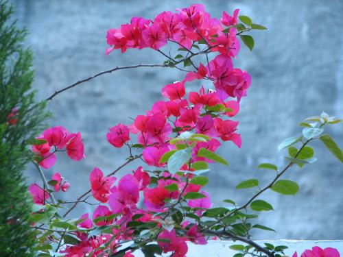 齐发娱乐城花什么时候开花  齐发娱乐城花不开花原因及解决方法看这里