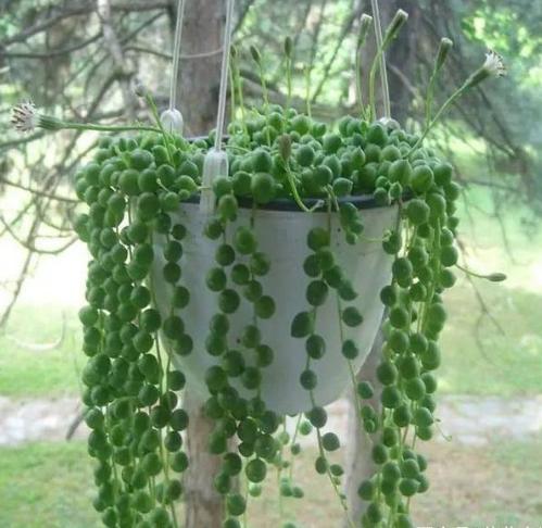 珍珠吊兰的功效与作用有哪些  没想到家养珍珠吊兰这么多好处