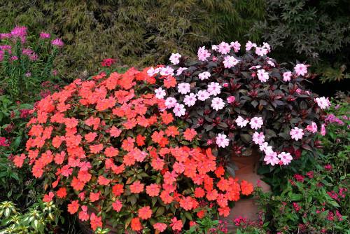 非洲凤仙花有毒吗致癌是怎么回事 非洲凤仙花能不能在室内养殖