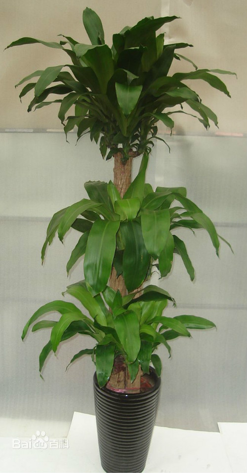 香龙血树怎么养长得好 香龙血树注意这几点越养越旺盛