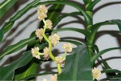 香龙血树几年开花怎么养开花 香龙血树开花什么兆头好吗