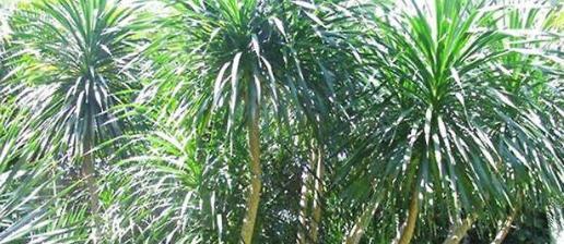 香龙血树有毒吗能在室内养吗 家养香龙血树功效与作用介绍