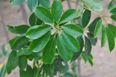 鹅掌藤和鹅掌柴是一种植物吗 它们的区