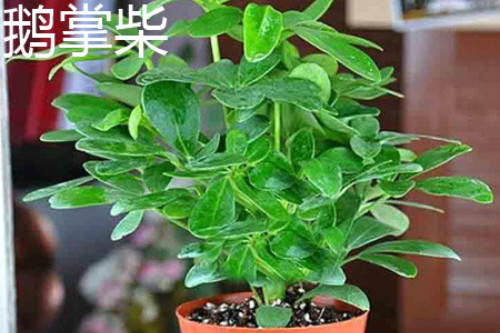 鹅掌藤和鹅掌柴是一种植物吗 它们的区别主要有这几点