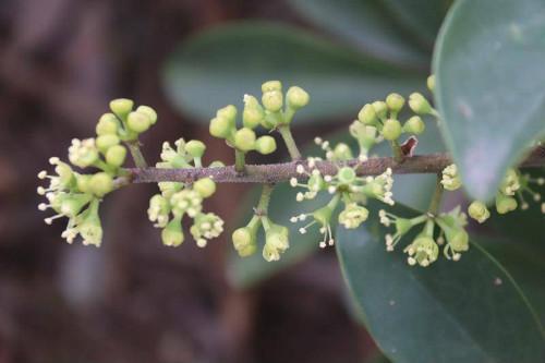 鹅掌藤会开花吗什么时候开花 鹅掌藤开花后如何管理