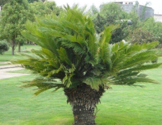 铁树好养吗怎么养长得好 铁树的养殖方法及注意事项看这里
