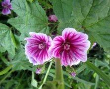 锦葵的花语是什么 锦葵的象征意义及风水禁忌介绍