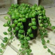 珍珠吊兰多久浇一次水 珍珠吊兰的水肥