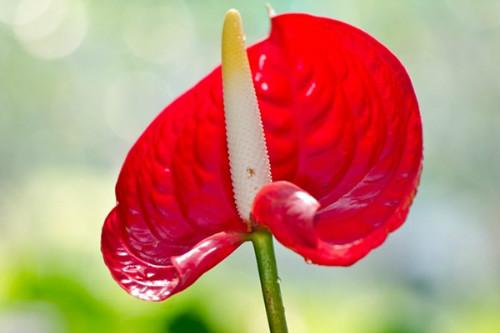红掌怎么养才能开花 红掌催花小妙招这样养四季开花