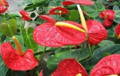红掌用什么肥料最好 红掌正确水肥管理