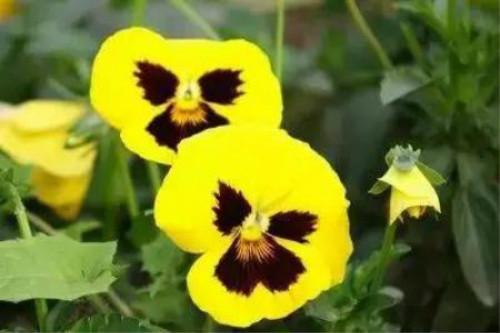 三色堇开完花怎么处理 这样养能让三色堇四季开花哦