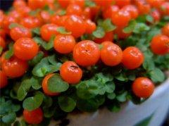 吊兰叶子发黑怎么办_珍珠橙果实能开多久 珍珠橙怎么养不容易死你知道吗