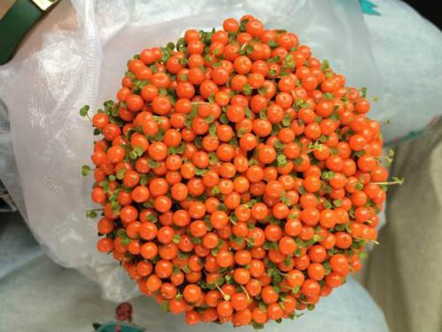 珍珠橙果实能开多久 珍珠橙怎么养不容易死你知道吗
