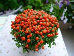珍珠橙好养吗怎么养 珍珠橙的养殖方法和注意事项看这里