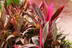 红叶朱蕉的风水作用如何  红叶朱蕉适合家里养吗风水禁忌介绍