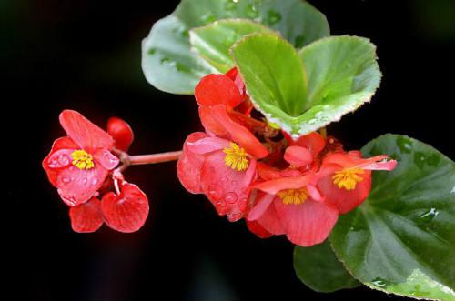 玻璃海棠怎么不开花  忽略这几点容易造成玻璃海棠不开花哦