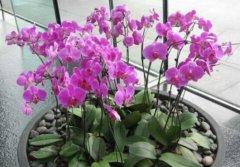 蝴蝶兰冬天怎么养护 蝴蝶兰冬季水肥管理方法看这里
