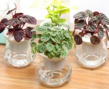 皱叶椒草可以水培吗 水培皱叶椒草方法
