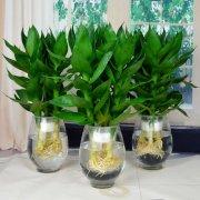 观音竹开花是好兆头吗 观音竹这样养护更容易开花哦