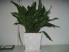黑美人植物怎么过冬 黑美人冬季养护注意事项看这里