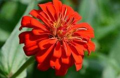 百日草什么时候开花冬天开花吗 影响百日草开花的原因有这几点