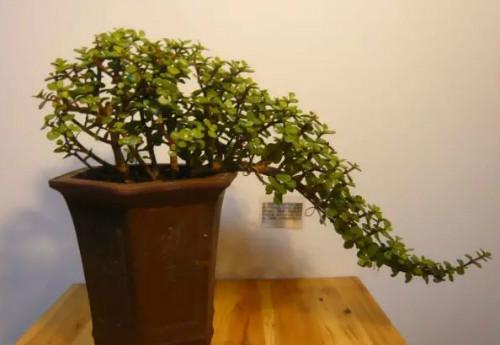家里养玉树有什么寓意 玉树的风水作用及禁忌介绍