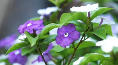 鸳鸯茉莉的花语是什么 没想到鸳鸯茉莉还有这么浪漫的寓意