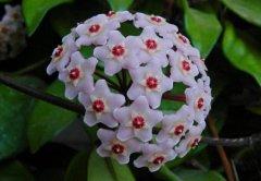 球兰不开花怎么办怎么养才能开花 球兰快速开花的小窍门