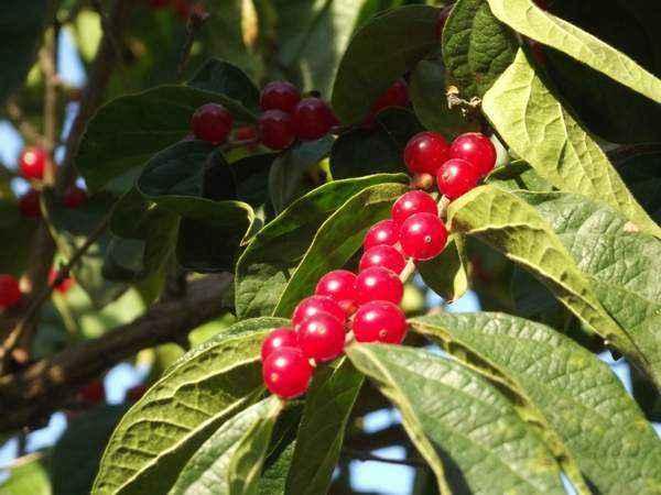 金银木果实能吃吗 金银木的药用价值有哪些