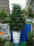 垂叶榕的功效和作用有哪些 垂叶榕的价