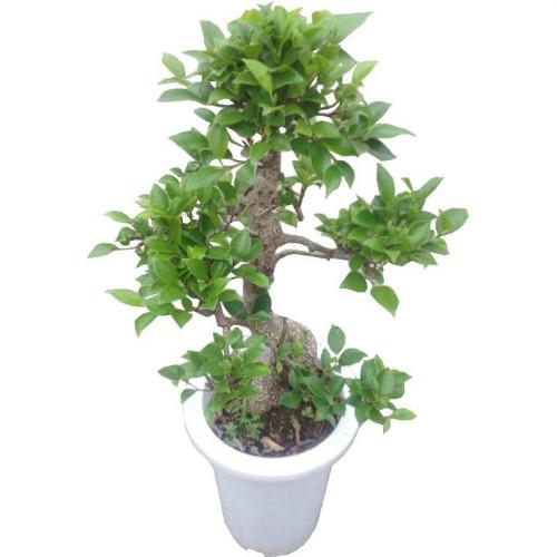 垂叶榕的功效和作用有哪些 垂叶榕的价值可真不小
