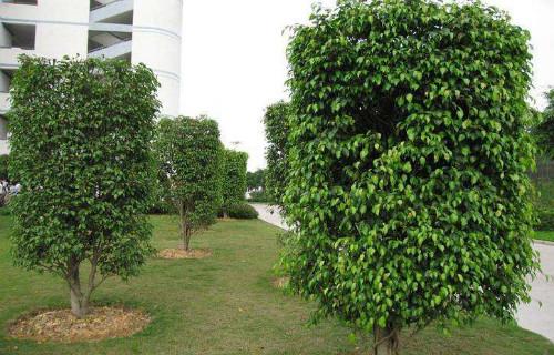 垂叶榕好养吗怎么养 这样养护垂叶榕盆景长得更茂盛