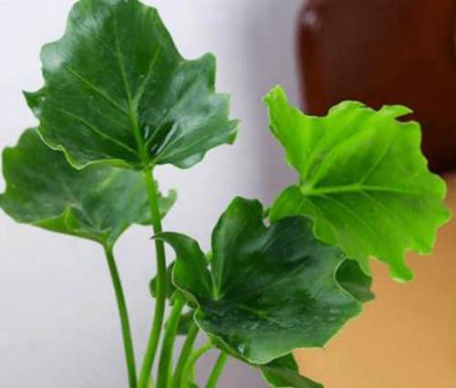 春雨植物有毒吗适合放在卧室吗 家养春雨植物有什么好处