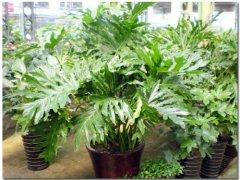 春雨植物怎么养 春雨的养护方法和注意事项看这里